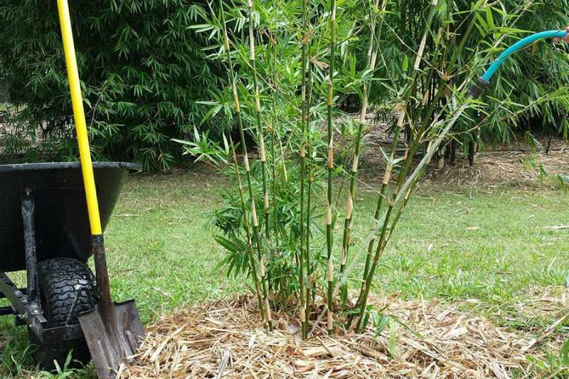 como plantar bambú