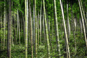 moso bamboo, pubescens, edulis