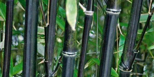 bambú negro nigra 2019