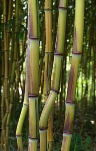 bambú phyllostachys