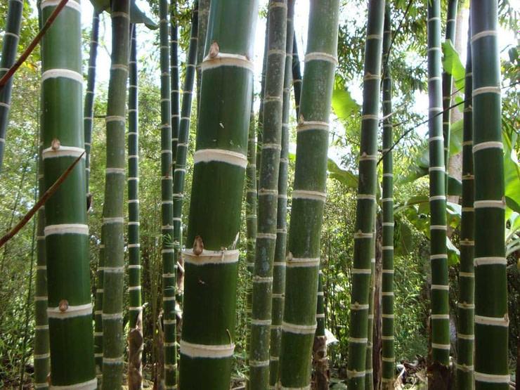 guadua angustifolia bambu