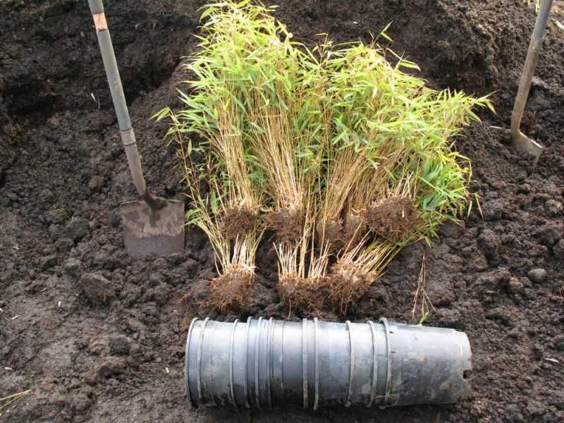 plantando bambú