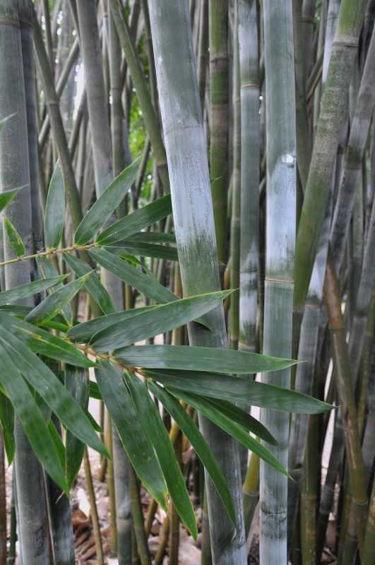 Bambusa bambú alphonse karr vulgaris textilis