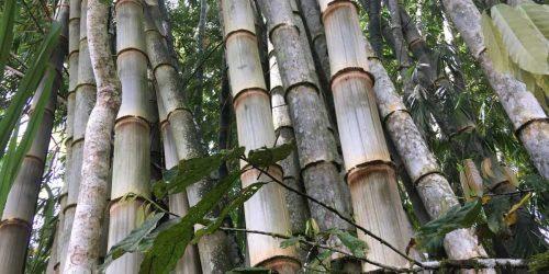 Dendrocalamus Asper, la guia más completa del 2020 realizada por especialistas en bambú