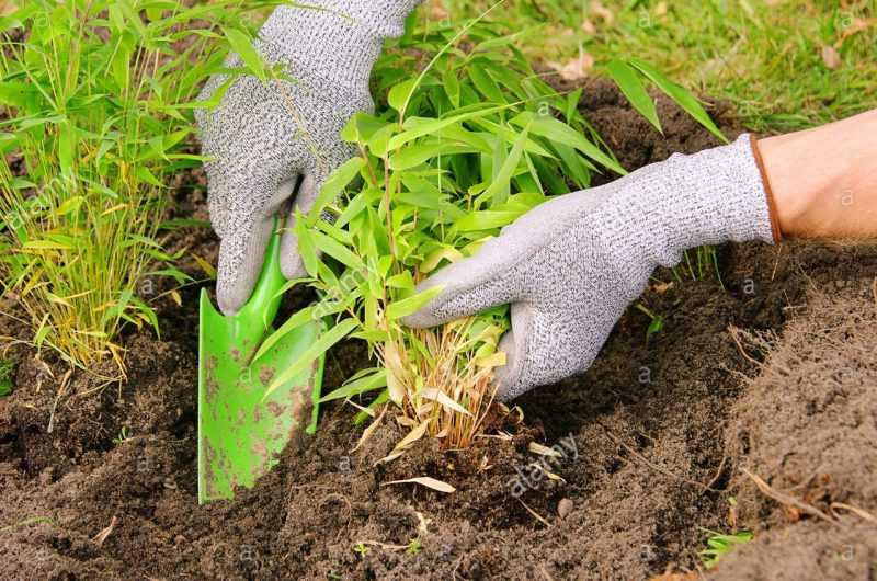 como plantar bambu semillas
