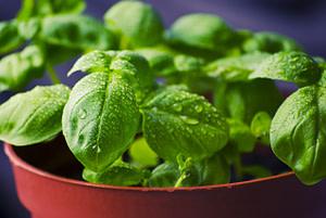 plantar albahaca cultivar albahaca en casa 2021