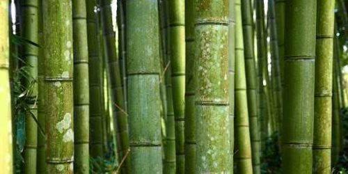 familia de bambús guadua