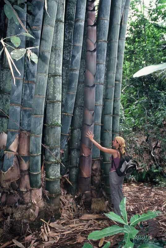 bambu gigante tienda