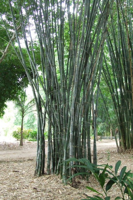 Planta-de-hojas-de-bambu