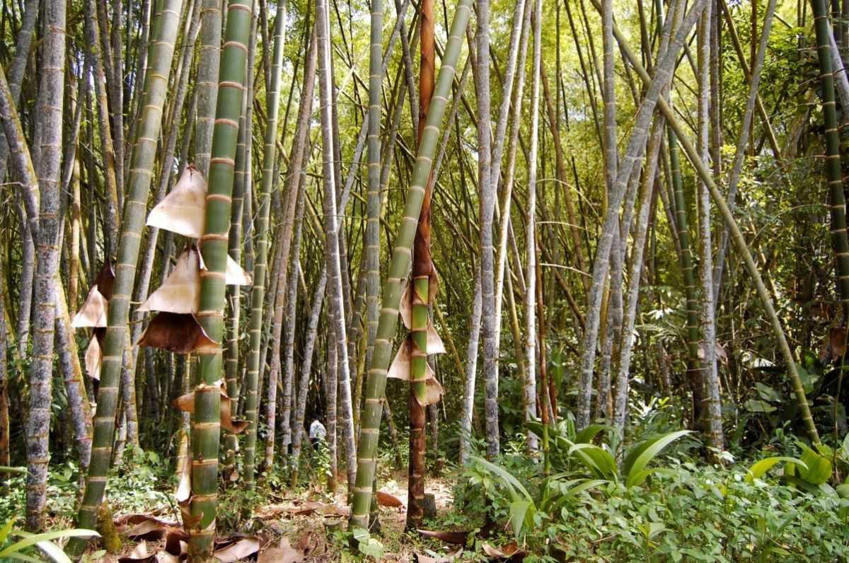 bambu gigante guadua 2020
