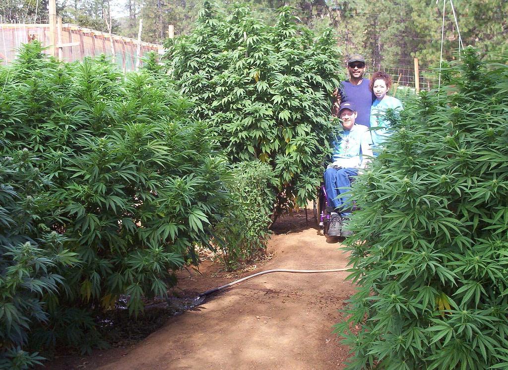 Cómo y Cuándo plantar Marihuana