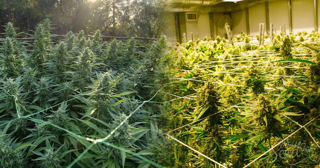 Cultivo de marihuana en exterior e interior